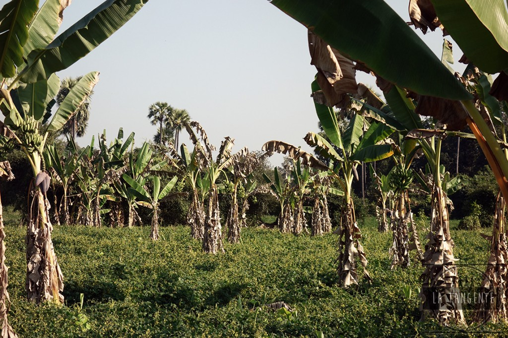 Banana fields
